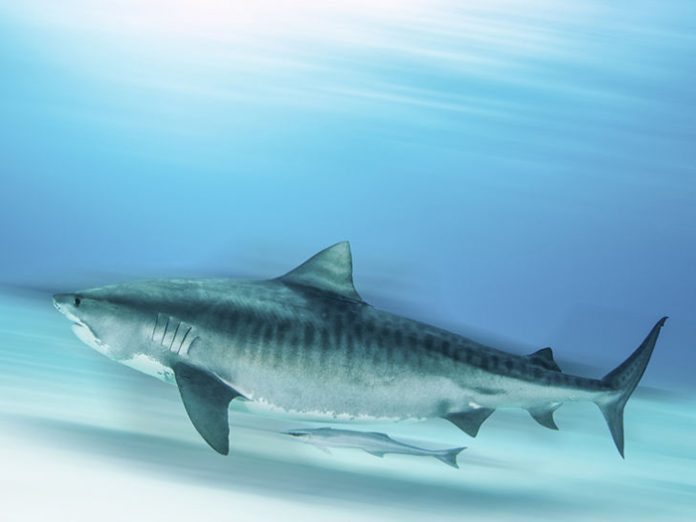 heres-where-you-can-go-to-see-your-favourite-sharks-tiger-shark-2