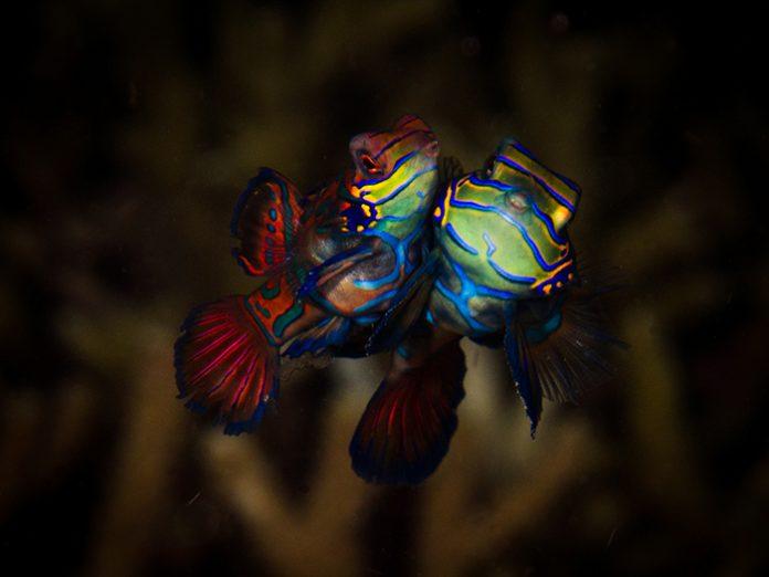 mandarinfish-dive